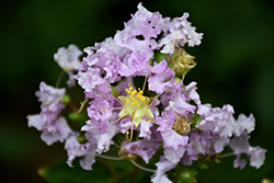 Early Bird™ Lavender Crapemyrtle (Lagerstroemia 'JD818') at Martin's Home & Garden