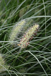 Little Bunny Dwarf Fountain Grass (Pennisetum alopecuroides 'Little Bunny') at Martin's Home & Garden
