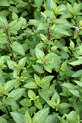Chocolate Mint (Mentha x piperita 'Chocolate') at Martin's Home & Garden