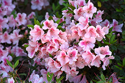 Encore® Autumn Chiffon™ Azalea (Rhododendron 'Robled') at Martin's Home & Garden