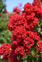 Dynamite® Crapemyrtle (Lagerstroemia indica 'Whit II') at Martin's Home & Garden