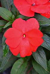 Super Sonic Red New Guinea Impatiens (Impatiens hawkeri 'Super Sonic Red') at Martin's Home & Garden